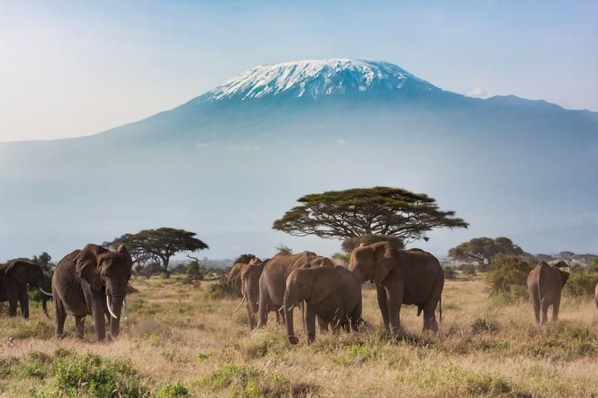 Elefantes en la sabana africana, de fondo en el Kilimanjaro